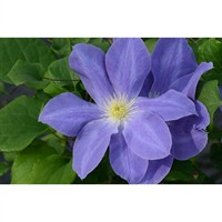 Clematis Dianas Delight (Evipo026) 3 Litre Climber Plant