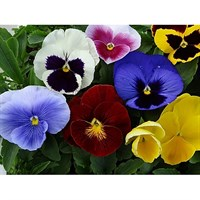 Pansy F1 Mixed 6 Pack Boxed Bedding