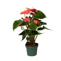 Anthurium Andr 'Solara' Houseplant - 12cm Pot