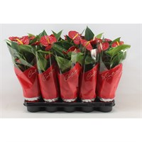 Anthurium Andr 'Success Red' Houseplant - 12cm Pot