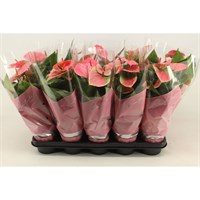 Anthurium Andr 'Sweet Dream' Houseplant - 12cm Pot