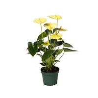 Anthurium Andr 'Vanilla' Houseplant - 12cm Pot