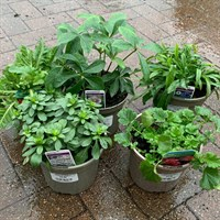 ! Bulk Plant Offer - Perennials Mixed 2L - 5 for £22!