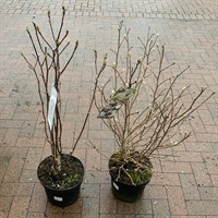 ! Bulk Plant Offer - Magnolia 7.5L - 2 for £50!