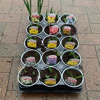 ! Bulk Plant Offer - Bulbs Mixed 10.5cm - 15 for £18!
