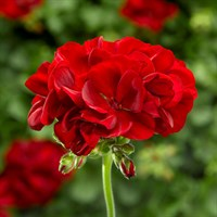 ! Bulk Plant Offer - Mixed Geraniums Trailing/Upright 9cm Starter Plants - 6 for £7.49!