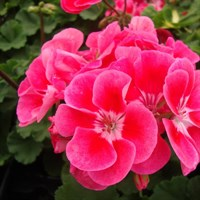 ! Bulk Plant Offer - Mixed Geraniums Upright 9cm Starter Plants - 6 for £7.49!