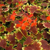! Bulk Plant Offer - Mixed Geraniums Varigated 9cm Starter Plants - 6 for £7.49!