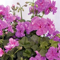! Bulk Plant Offer - Mixed Geraniums Trailing 9cm Starter Plants - 6 for £7.49!