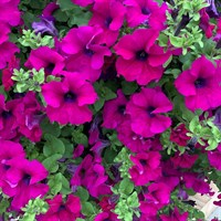 ! Bulk Plant Offer - Mixed Petunias 9cm Starter Plants - 6 for £7.49!