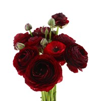 Ranunculus (x 10 stems) - Red