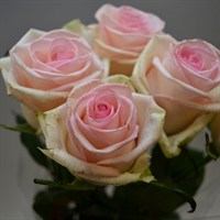 Rose Long Stem (x 5 Stems) - Cupcake