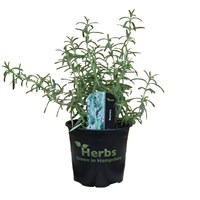 Rosemary 1 Litre Pot