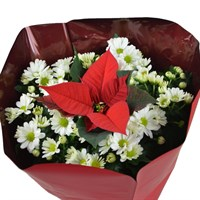 Christmas Bowl Planter - Poinsettia and White Chrysanthemum 23cm