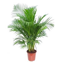 Chrysalidocarpus lutescens (Areca Palm) in a 17cm Pot