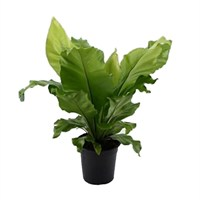 Asplenium nidus (Birds Nest Fern) in a 17cm Pot