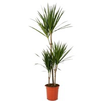 Dracena marginata (Madagascar Dragon Tree) (x 3) in a 21cm Pot