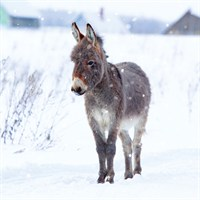Ling 6 Pack Charity Christmas Cards - Donkey in Snow - 13.5cm (X12122RCJP)