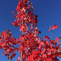 Acer 'Pacific Sunset' Tree