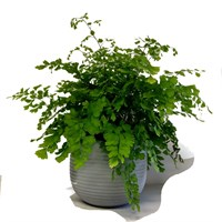 Adiantum Fern In Grey Stone Round Pot