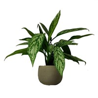 Aglaonmea Houseplant In Taupe Stone Effect Round 16cm Pot