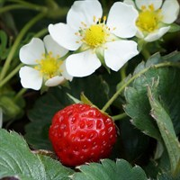 Alpine Strawberry 1L Herb Pot