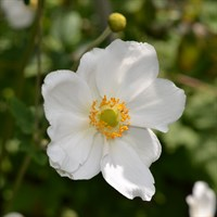 Anemone Honorine Jobert Perennial Plant in a 2L Pot