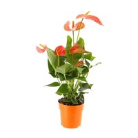 Anthurium Houseplant Orange 12cm Pot