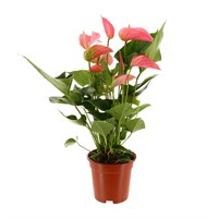 Anthurium Houseplant Explosion Pink 30cm Pot
