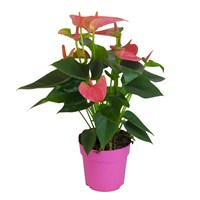Anthurium Pink Houseplant in a 12cm Pot