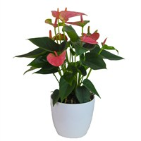 Anthurium Pink Houseplant in a White Ceramic 12cm Pot