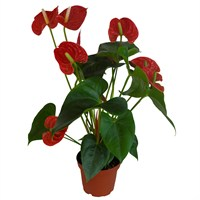 Anthurium Red Houseplant in a 12cm Pot
