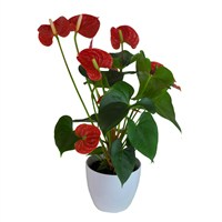Anthurium Red Houseplant in a White Ceramic 12cm Pot