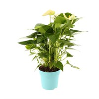 Anthurium Houseplant White 12cm Pot