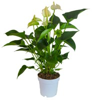 Anthurium White Houseplant in a 12cm Pot