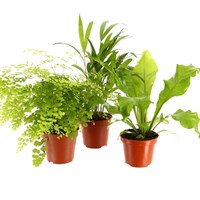 Areca Indoor Houseplants - Set of 3