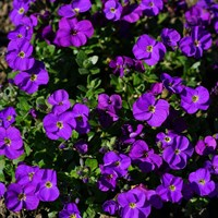 Aubrieta Kitte 10.5cm Pot Bedding