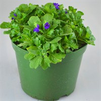 Aubrieta Kitte 2L Pot Bedding
