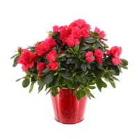 Azalea Christmas Houseplant in Red Pot - Red