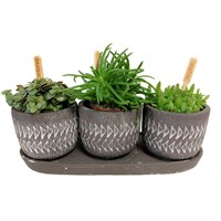 Bambino Mixed Plants in Burgon & Ball Aztec Stone Pots & Stand Gift - Set of 3