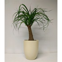 Beaucarnea - Ponytail Palm - 3+ Head Set Into Pearl Cream Coloured Ceramic Vase
