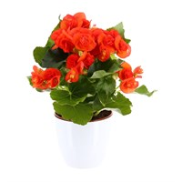 Begonia Houseplant Orange 12cm Pot in a White Ceramic Pot