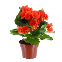Begonia Houseplant Orange 12cm Pot