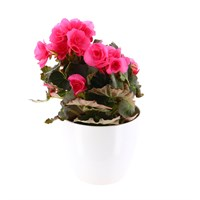 Begonia Houseplant Pink 12cm Pot in a White Ceramic Pot