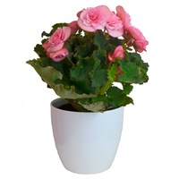 Begonia Pink Houseplant in a White Ceramic 12cm Pot