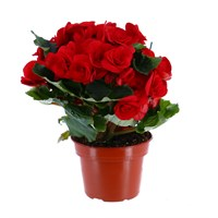 Begonia Houseplant Red 12cm Pot