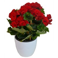 Begonia Red Houseplant in a White Ceramic 12cm Pot