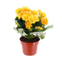 Begonia Houseplant Yellow 12cm Pot