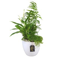 Birthday (Spathiphyllum) Potted Arrangement In White Ceramic Pot