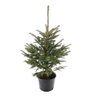 Blue Spruce 1.5-2ft (60-80cm) Real Potted Christmas Tree - PRE ORDER